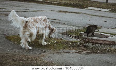 Dog follows the cat, english setter - hunting breed white spotty big furry dog walking with a cat