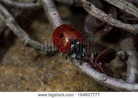 Ladybug Downstairs Bug Macro Garden Nature Marienkäfer