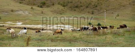 Cattle grazing over farmland. Cows grazing on a green autumn meadow.