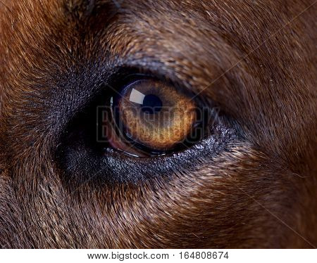 Rhodesian ridgeback dog left eye in studio