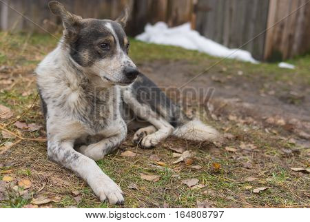Lonely stray dog lying on a ground at late fall season