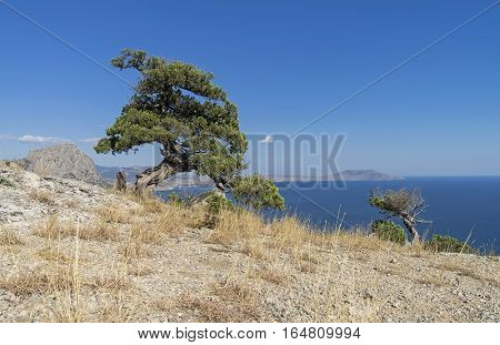 Relict juniper tree against a blue cloudless sky. Crimea September.
