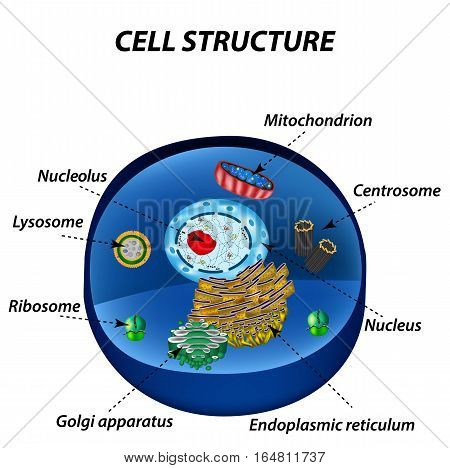 Structure of human cells. Organelles. The core nucleus, endoplasmic reticulum, Golgi apparatus, lysosomes, ribosomes, mitochondria centriole Vector illustration