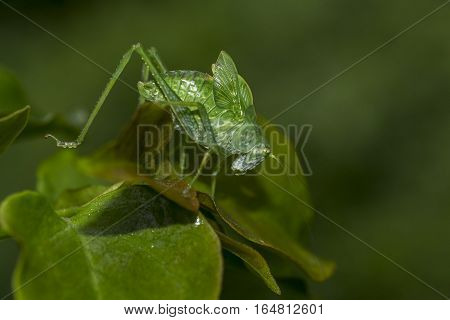 Green Locust With Long Antennae