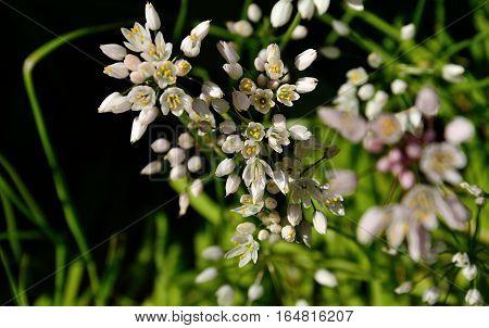 Small flowers of wild garlic in full splendor