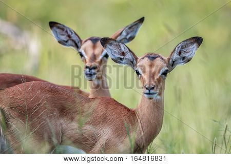 Two Baby Impalas Starring At The Camera.