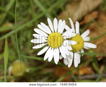 White Daisy / daisies on green grass and undergrowth background