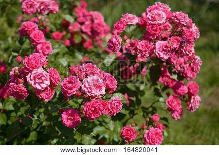 Beautiful bush of pink roses in garden