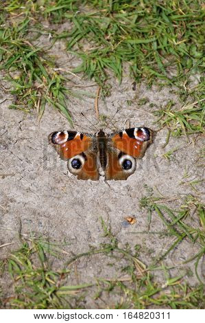 Tortoiseshell, orange butterfly resting on the ground surrounded by grass (Nymphalis urticae) portrait