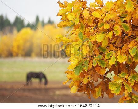 Autumn. Oak branch. Horse grazing in a field