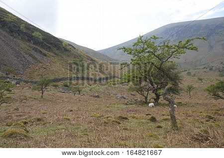 Open brown field with stone wall, green tree and rolling hills in the background, winter at Aber falls abergwyngregyn