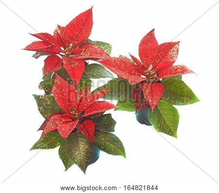 Euphorbia Poinsettia in front of white background