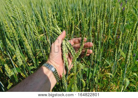 Hand touches ears of wheat. Hand of a farmer touching ripening wheat ears in early summer.