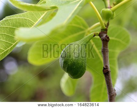 Ripe Fig On The Tree Fig With Large Green Leaf In Spring
