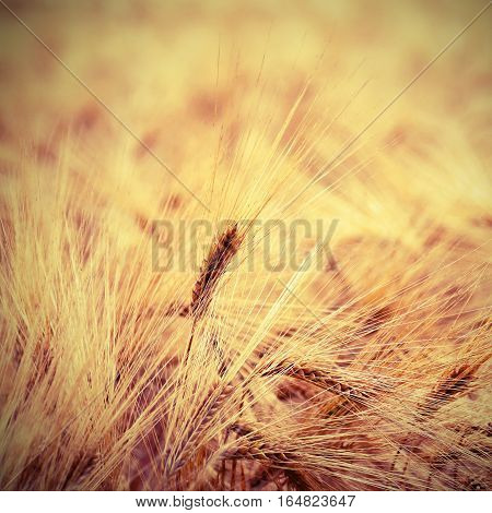 Ears Of Wheat During Ripening In The Wheat Field In