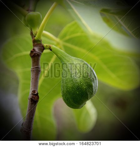 Ripe Fig On The Tree Fig With Large Green Lea