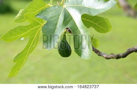 Fig On The Tree Fig With Green Leaf