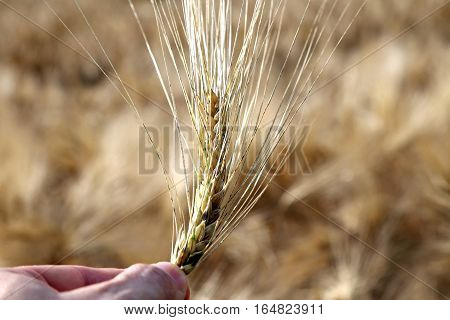 Hand Of Farmer Holding The Ear Of Wheat In The Middle Of The Whe