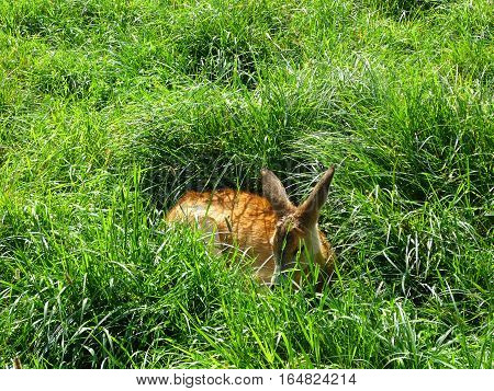 Deer sleeping in the tall grass