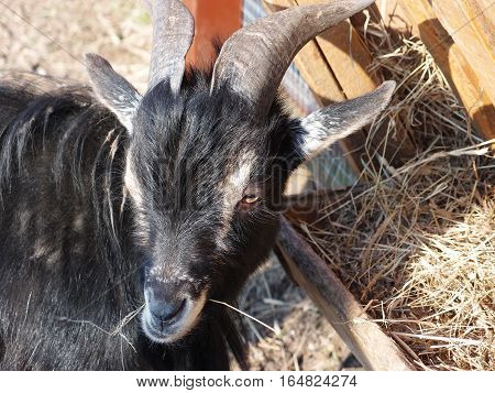 Young Domestic black Goat eating hay on the farm