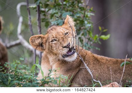 Lion Cub Chewing On A Stick.