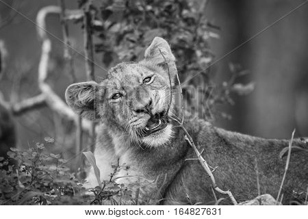 Lion Cub Chewing On A Stick In Black And White.