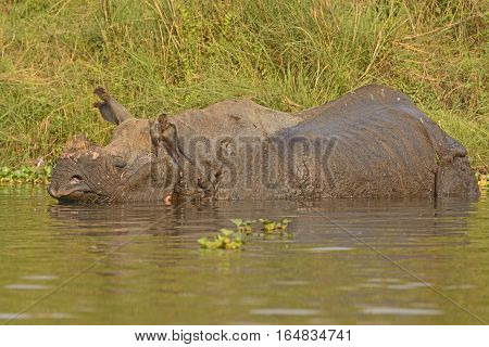 Indian Rhino in a River in Chitwan National Park in Nepal