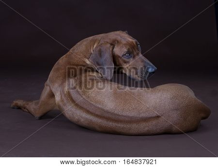 Brown rhodesian ridgeback dog backwards in studio
