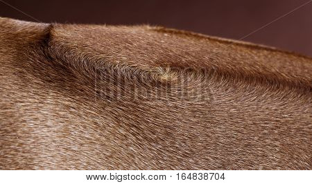Brown rhodesian ridgeback dog texture in studio