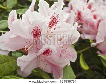 Beautiful pink rhododendron flower, azaleas close over green leaves in summer