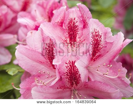 Beautiful pink rhododendron flower, azaleas in detail