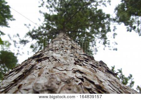 Looking up at tree trunk, flakey grey brown bark