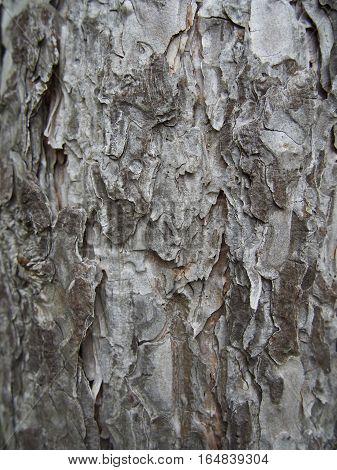 Grey flaking bark texture, detailed portrait view