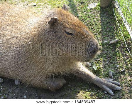 Capybara large sat on grass in the sun, close