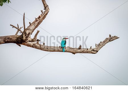 Woodland Kingfisher On A Branch.