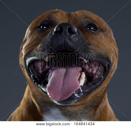 happy staffordshire bull terrier portrait in studio