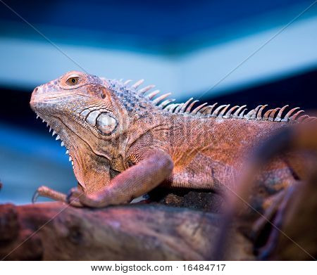 Bearded Dragon at the tree in blue color poster