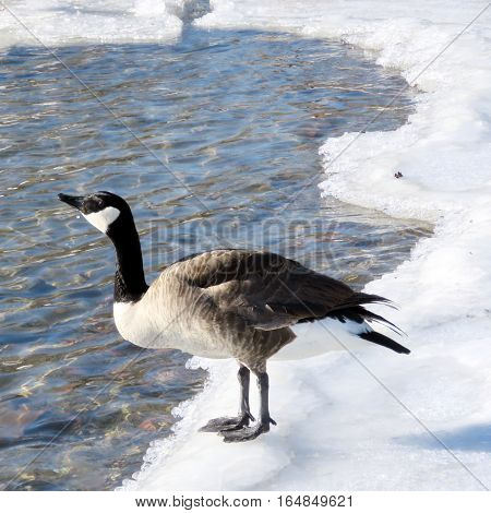 The goose on the ice near a shore of the Lake Ontario in Toronto Canada January 6 2017