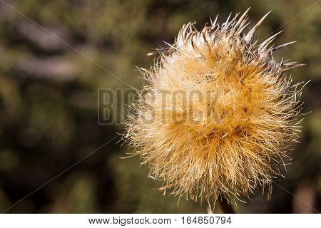 Dry Dandelion Flower