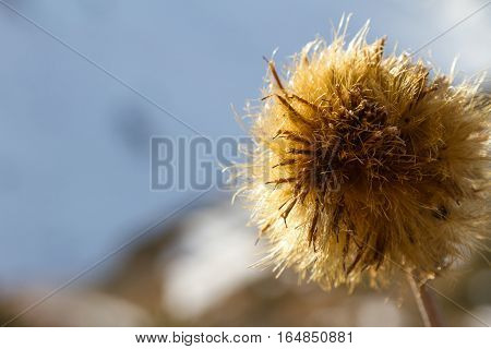 Large Flower Dry Thistles
