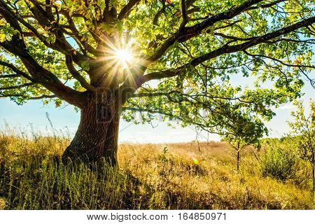 Beautiful oak tree in the grass field and sunlight among its branches and leaves. Summer landscape