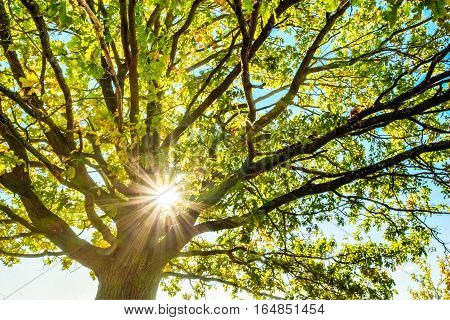 Oak tree branches through which the sun shines. Summer