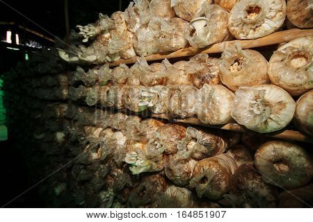 Cultivation Of Grey Oyster Mushroomหง From Spawn In Farm.