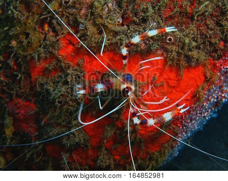 The surprising underwater world of the Bali basin, Island Bali, Puri Jati, cleaner shrimp