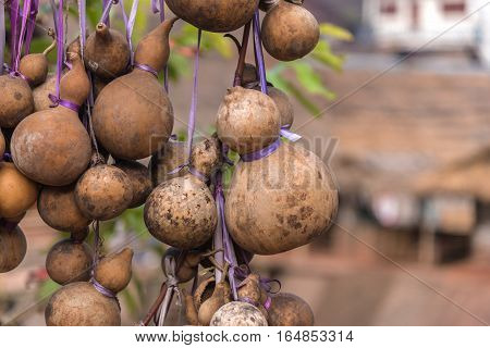 Dry calabash hang on the wooden. close up