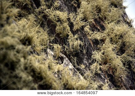 Yellow moss on tree bark. Light green Moss on tree trunks. Bark and moss tree abstract texture.