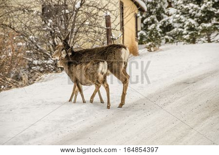 Mule Deer (Odocoileus hemionus) doe with her young one in fresh snow along the side of a road in Montana