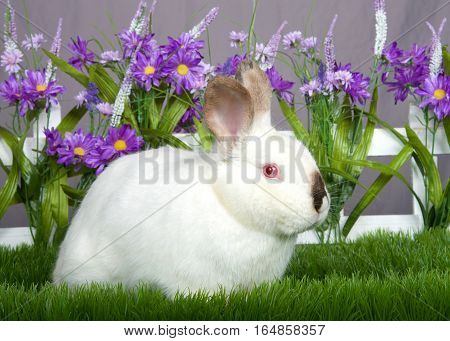 small white and brown dwarf bunny with pink eyes sitting in green grass in front of a white picket fence with purple flowers by a gray wall