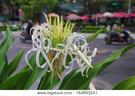 unusual white flower with purple stamens, with strong flat green leaves, like daylilies, on the background of the city, a movement of Vietnamese bikers