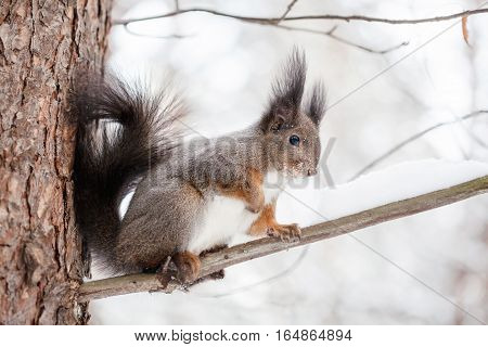 Cute squirrel on tree looking at winter scene snowy park or forest
